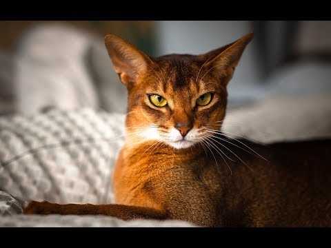 The Abyssinian Cat, Bringing The Look of The Wild Indoors | Abyssinian Cat