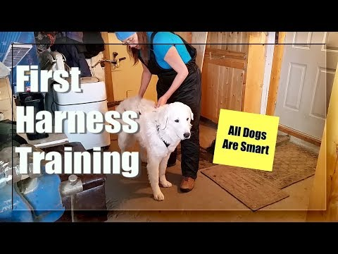 Sledding Harness Training - Ira The Kuvasz