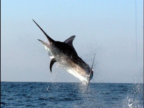 Puerto Vallarta Pesca Torneo de Marlin