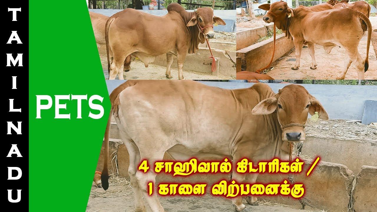 சாஹிவால் கிடாரிகள் / காளை விற்பனை | Sahiwal cows for sale | Tamilnadu Pets | Tamil