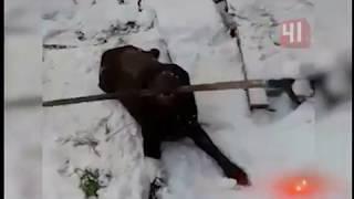Раненый лабрадор-поводырь идёт на поправку / Новости