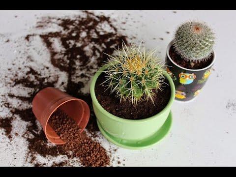 Как пересадить кактус в другой горшок видео