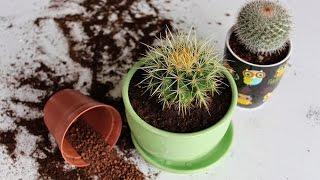 видео Как ухаживать за кактусом в домашних условиях, пересадка, размножение