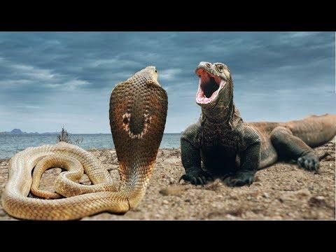Komodo Vs Snake (Cobra)