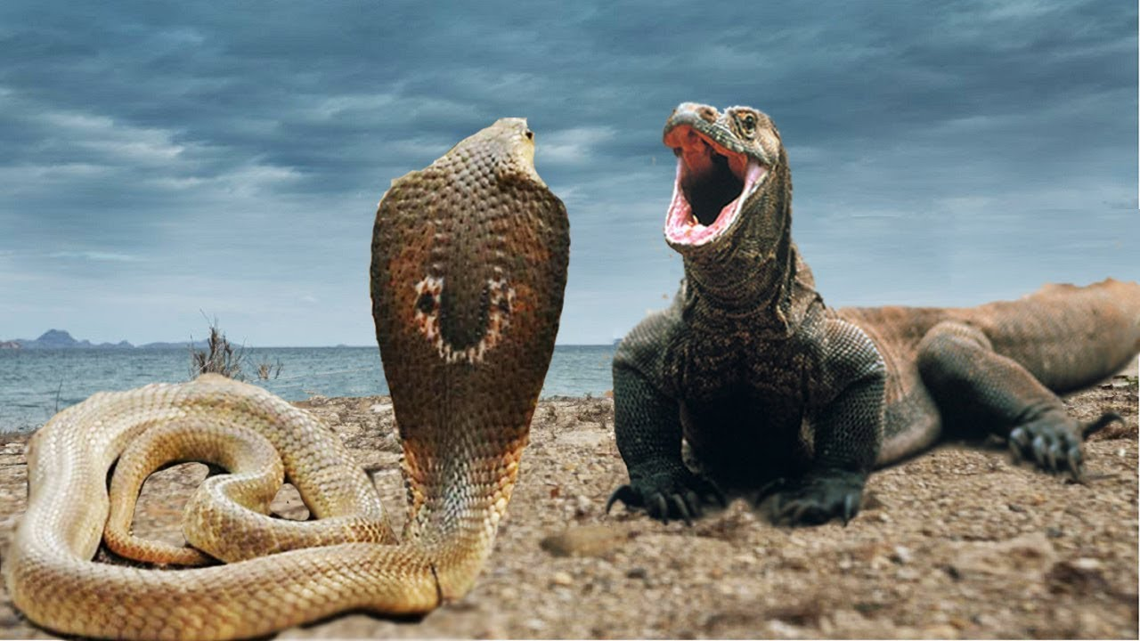 "Komodo Vs Snake (Cobra)""real fight""video - YouTube
