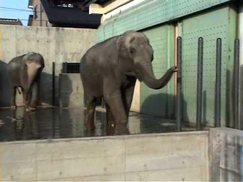 ゾウの異常行動/動物園