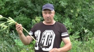 КФК «Пчёлка», Алексей Руссков о благотворном влиянии клубеньковых бактерий  на выращивание люпинов