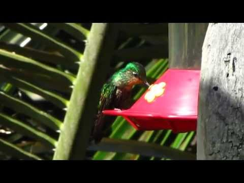 Endemic - Dusky starfrontlet - Coeligena orina - Dusky Starfrontlet Bird Reserve