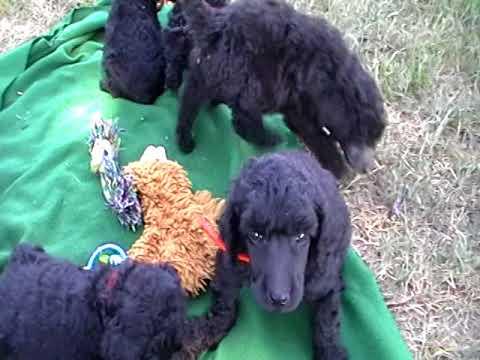AKC Standard Poodle Breeder