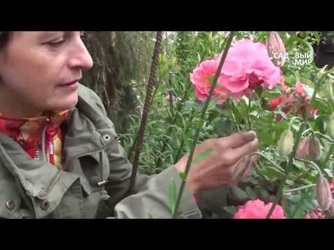 Самые неприхотливые розы  Розариум Ютерсен