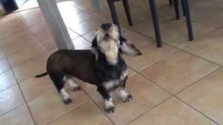 Barking dog - Chien qui aboie