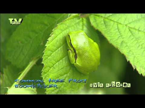 Wild Peers: Boomkikker - European Tree Frog - Hyla arborea