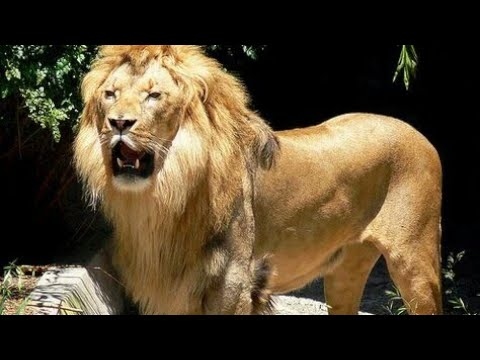 These Muscular Lions Don't need gym. - YouTube