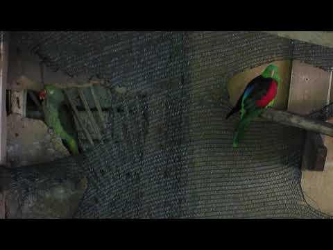 КРАСНОКРЫЛЫЙ ПОПУГАЙ: Зелёный Попугай с Красными Крыльями