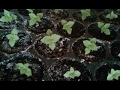 Growing paulownia tomentosa from seed step by step  part2