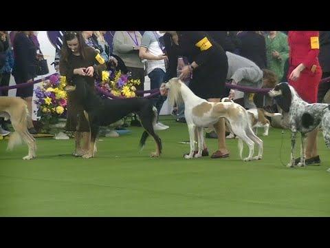 SALUKI Westminster dog show 2020