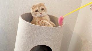 赤ちゃんのように遊ぶ無邪気な短足猫