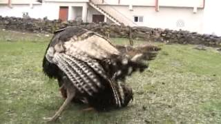 Anadolu Agency - Fight between rooster vs turkey