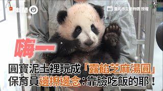 貓熊圓寶玩成髒兮兮模樣 保育員邊擦邊念:靠臉吃飯的耶|可愛|臺北市立動物園