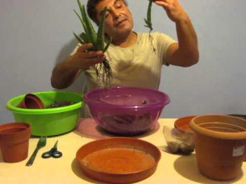 Şifalı bitki Aloe vera