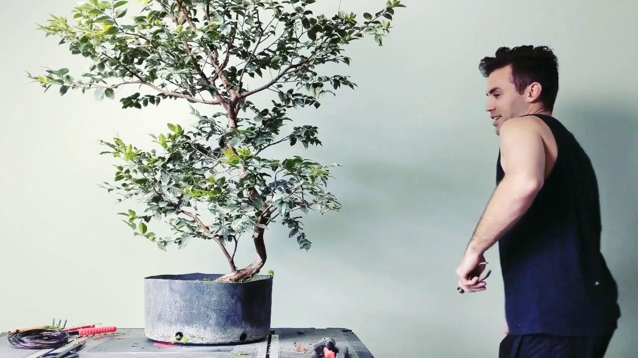 Bonsai Pruning Jabuticaba Brazilian Grapetree Youtube
