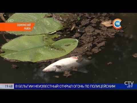Мор рыбы из Красной книги в Ошмянском районе. Виноват крахмальный завод?