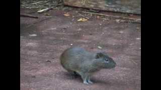 Wild Guinea Pigs (Cavia aperea)
