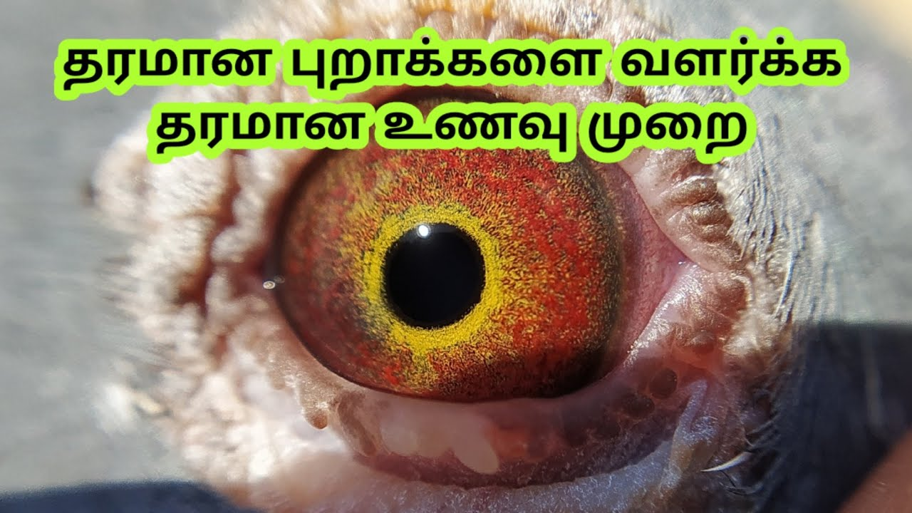 FOR MAINTAIN HEALTHY PIGEON @CHENNAI PIGEONS