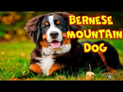 Bernese Mountain Dog is a fluffy and pleasant friend. Compilation