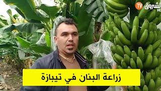 تجربة رائدة لزراعة الموز بولاية تيبازة بعد التجربة الأولى في بوفاريك