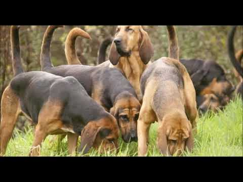 Types Of Hounds