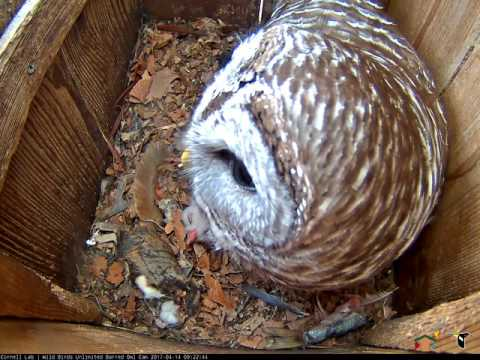Morning Hooting Duet on the Wild Birds Unlimited Barred Owl Cam, April 14, 2017