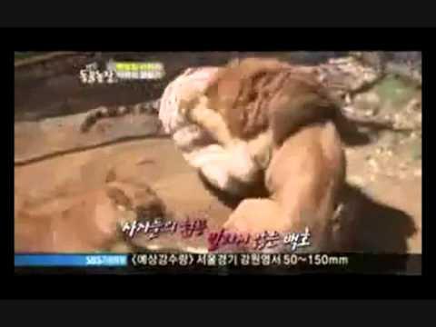 Hổ Chúa Tể Rừng Xanh  chấp  Ma Phi A... 2 con sư tử.Chúa sơn lâm cắn nhau