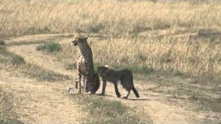 マサイ・マラ動物保護区のチーター親子です。