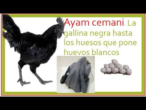 Image Result For Ayam Cemani