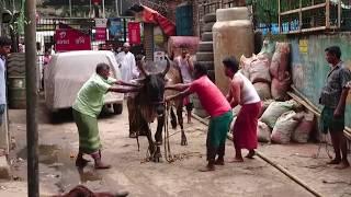 Anger Big Bull ( Eid-Ul-Adha) 2017