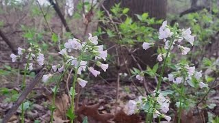 Virginia Bluebells and Spring Beauties; learn more about wildflowers