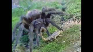 Что будет, если посадить тарантула и скорпиона вместе?