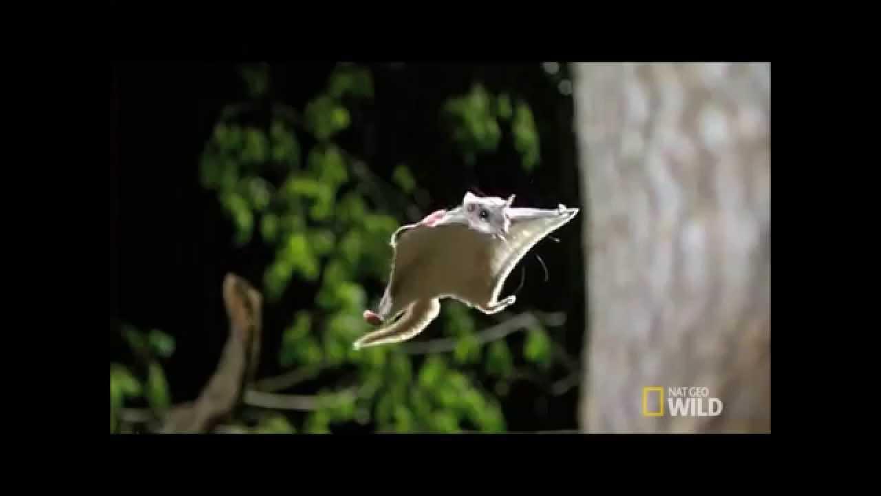 esquilo voador - YouTube