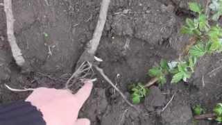 Ремонтантная малина - посадка(ремонтантная малина - малина плодоносит как с двухлетних так и с однолетних побегов, купить саженцы вы може..., 2014-04-02T09:04:12.000Z)