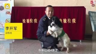 """云南昆明机场,身着绿色制服的检疫犬""""开心"""",特别喜欢在行李箱边嗅来嗅..."""