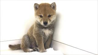 と~っても可愛い柴犬の男の仔☆ 最近は室内飼いも増え大人気です!! 気に...