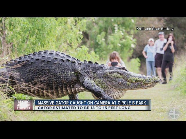 Only in Florida: Video of HUGE gator in Lakeland goes viral