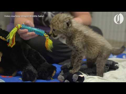 New cheetah cub arrives at Oregon Wildlife Safari