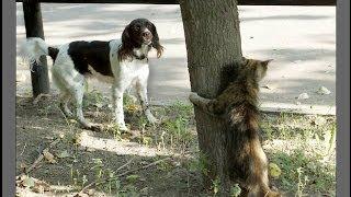 Мужик натравил кота на собаку!