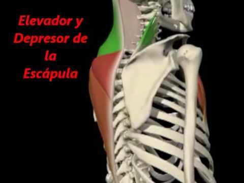 FisioSalud LM- Musculos Escapula Depresor y Elevador - YouTube