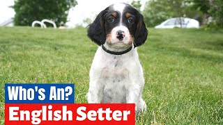 Ultimate Guide to English Setter | Should you get one for Yourself?