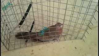 طريقة صيد القمري او الحمام بالفخ   Trap pigeons