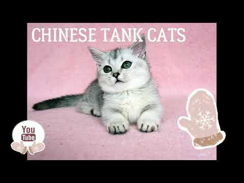 Chinese tank cat