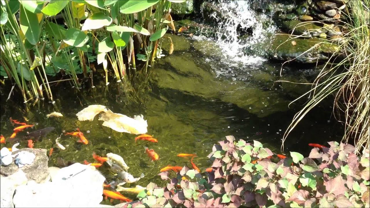 Backyard goldfish koi pond and plants look great at the for Best goldfish for outdoor pond